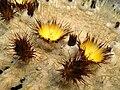 Echinocactus grusonii bluete.jpg