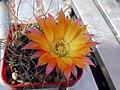 Echinopsis pampana1PCJO.jpg