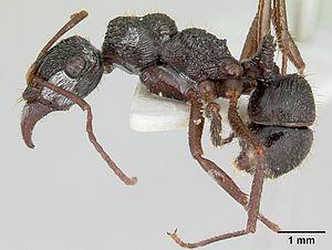 E. ruidum