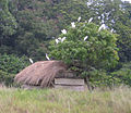 Egrets and hut, Bugala Island.jpg