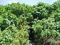 Ein Nutra Fig Trees.jpg