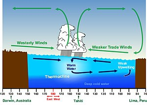 Upwelling - During an El Niño, wind indirectly drives warm water to the South American coast, reducing the effects of cold upwelling