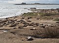 Elephant seals at Ano Nuevo (91694).jpg