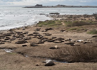 Año Nuevo State Park - Northern elephant seal rookery on Ano Nuevo Point in February 2019