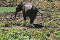 Elephants maximus du Parc national de Udawalawa (4).JPG