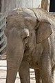Elephas maximus - 05.jpg