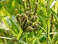 Eleusine coracana (L.) Gaertn. (2934263357).jpg