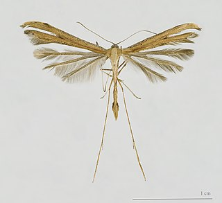 Pterophoridae Moth family containing the plume moths