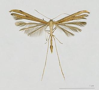 Pterophoridae - Emmelina monodactyla (Pterophorinae: Pterophorini)