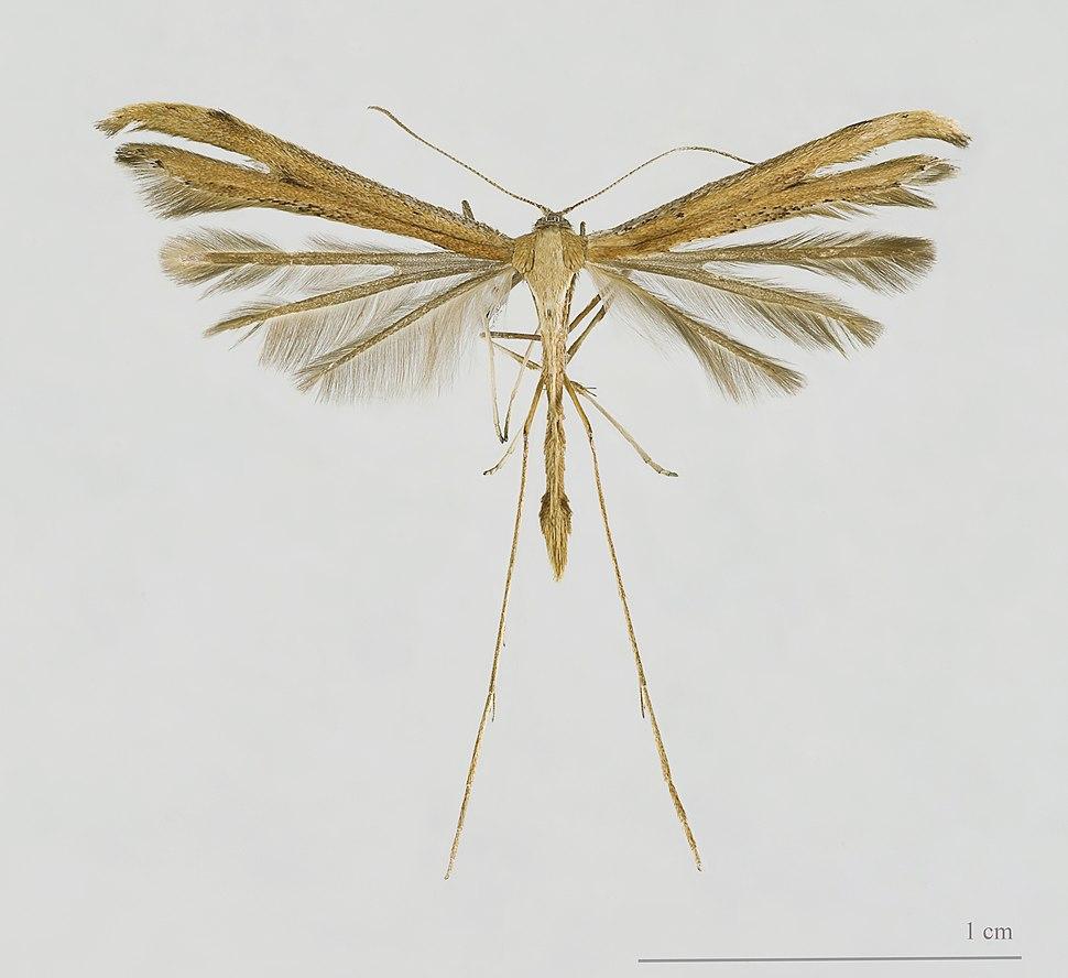 Emmelina monodactyla MHNT