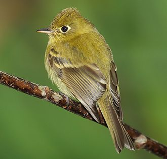 Tyrant flycatcher - Yellowish flycatcher, Empidonax flavescens