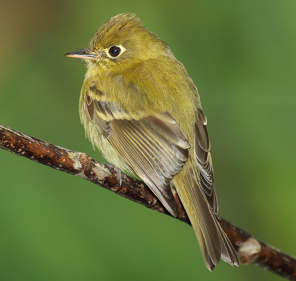 Empidonax flavescens-cropped version