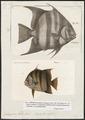 Ephippus faber - 1700-1880 - Print - Iconographia Zoologica - Special Collections University of Amsterdam - UBA01 IZ13100273.tif