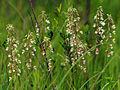 Epipactis palustris - group.jpg