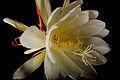 Epiphyllum oxypetalum (Dutchman's Pipe, kardable, Night Queen or निशागंधी Nishagandhi or Gul-e-Bakawali)げっかびじん gekkabijin (月下美人).jpg