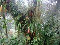 Epiphytes costa rica santa elena.jpg