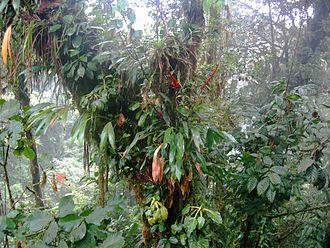 Wildlife of Costa Rica - Epiphytes near Santa Elena