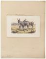 Equus onager - 1700-1880 - Print - Iconographia Zoologica - Special Collections University of Amsterdam - UBA01 IZ21700091.tif
