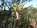 Eremophila oppositifolia (leaf, flower, fruit).JPG