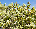 Eriogonum heermannii var sulcatum 17.jpg