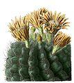 Eriosyce curvispina BlKaktenT63.jpg