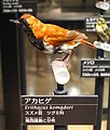Erithacus komadori - National Museum of Nature and Science, Tokyo - DSC07033.JPG