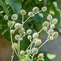 Eryngium eburneum in Jardin des 5 sens (2).jpg
