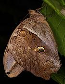 Eryphanis reevesii - Schmetterlingshaus Wien 4.jpg