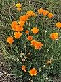 Eschscholzia californica 2 2018-05-06.jpg