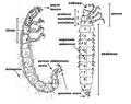 Esquema larva de Trichoptera.png