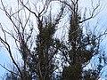 Eucalyptus globulus (Blue Gum) Crater Rd., Maui May 20, 2016 (27143749925).jpg