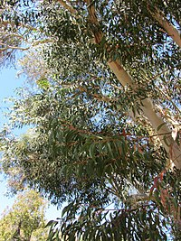 Scribbly gum, a small to medium sized tree named after the scribbles on its bark.