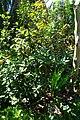 Eugenia brasiliensis - Naples Botanical Garden - Naples, Florida - DSC09596.jpg
