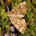 Eulithis populata03.jpg