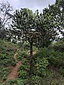 Euphorbia antiquorum 8.jpg