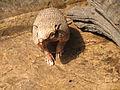 Euphractus sexcinctus.jpg