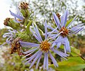 Exceptionally tall purple-stem aster 4.jpg