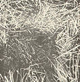 FMIB 41590 Nests of the Dogfish (Almia calva).jpeg