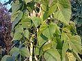 Fabales - Phaseolus vulgaris 2.jpg