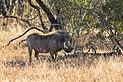 Facocero común (Phacochoerus africanus), parque nacional Kruger, Sudáfrica, 2018-07-26, DD 20.jpg