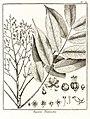 Fagara pentandra Aublet 1775 pl 30.jpg