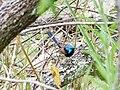 Fairy-wren (32238072972).jpg