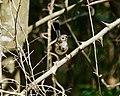 Fairy-wren (32295587495).jpg