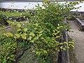 Fallopia japonica japonica 01.jpg