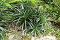 Fascicularia bicolor - Trebah Garden - Cornwall, England - DSC01719.jpg