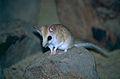 Fat-tailed Dunnart (Sminthopsis crassicaudata) (9998321085).jpg