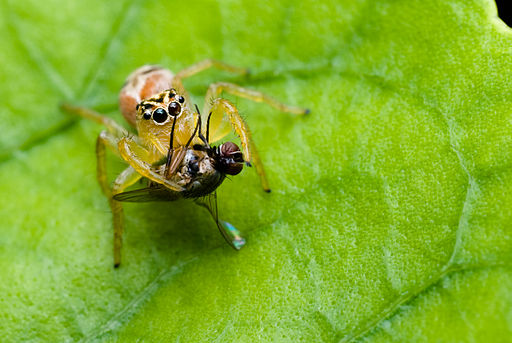 Female Salticidae with a prey-Northeast Region, Brazil a