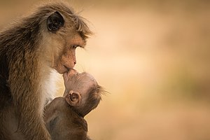 Female Toque macaque with baby - (Harmony of Life).jpg