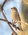 Female house finch in Central Park (11033).jpg