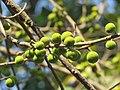 Ficus exasperata fruits at Mayyil 2019 (1).jpg